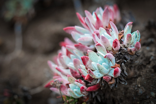 Coastal Succulent