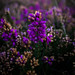 Saturated heather by gina.nicole.tesloff