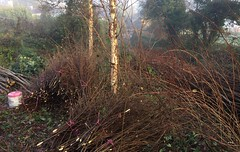 Hazel pea stick bundles under birch trees