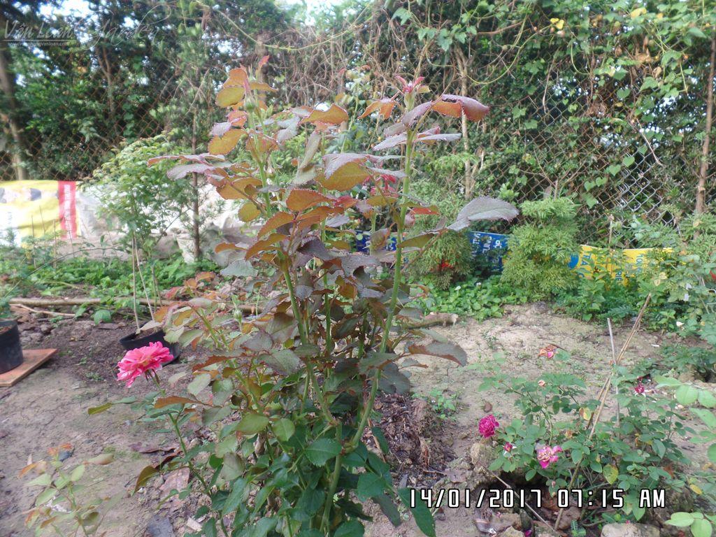 cac giai doan phun thuoc phong ngua nam benh cay hoa hong (4)-vuonhongvanloan.com