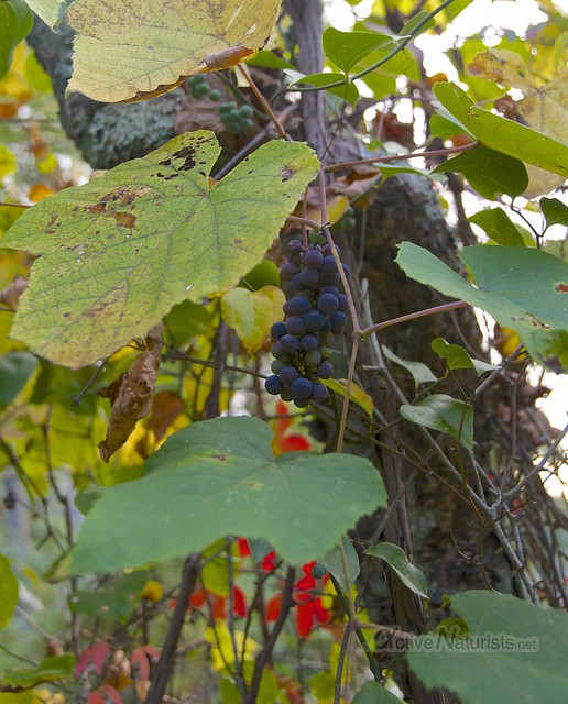 grape vine 0001 Harriman State Park, New York, USA