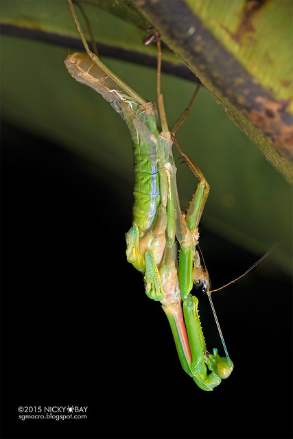 Mantis moulting (Hierodula sp.) - DSC_3908