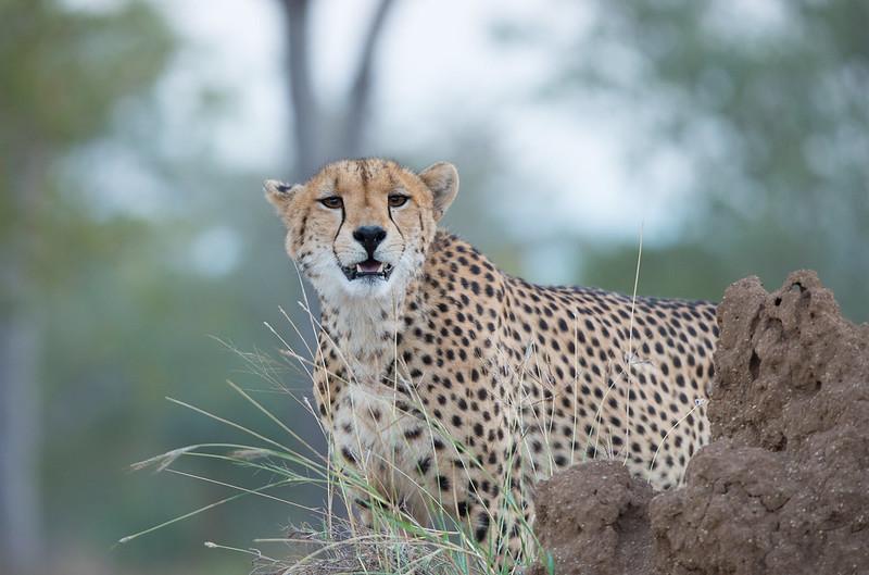 Cheetah mum looking for prey
