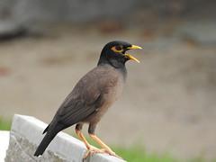 robin(0.0), blackbird(0.0), wildlife(0.0), animal(1.0), fauna(1.0), common myna(1.0), beak(1.0), bird(1.0),