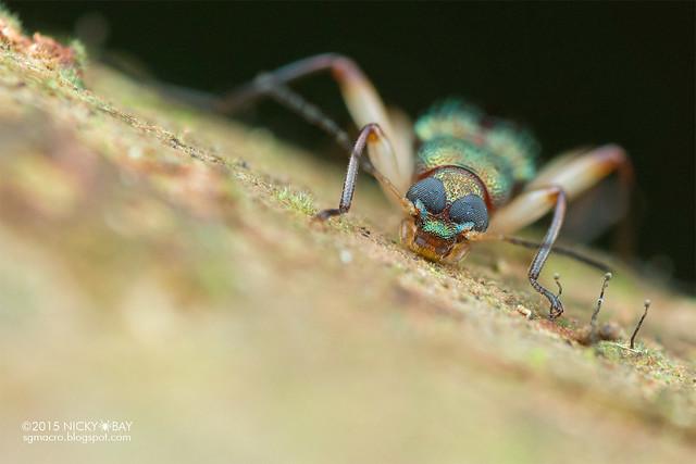Darkling beetle (Tenebrionidae) - DSC_5500