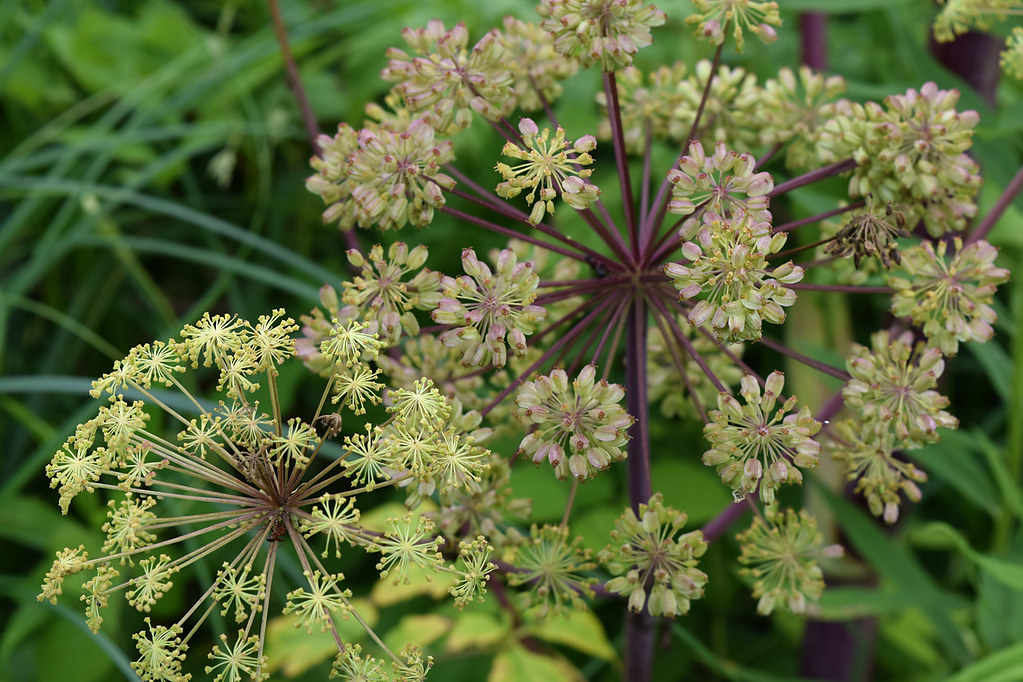 Great Angelica