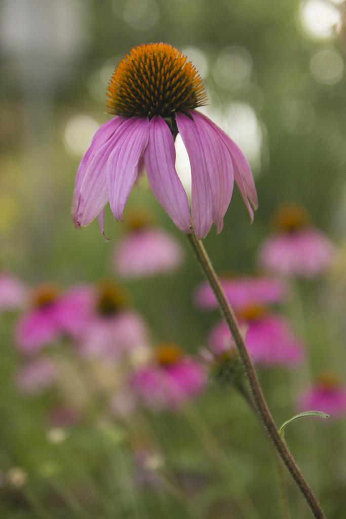 echinacea showoff