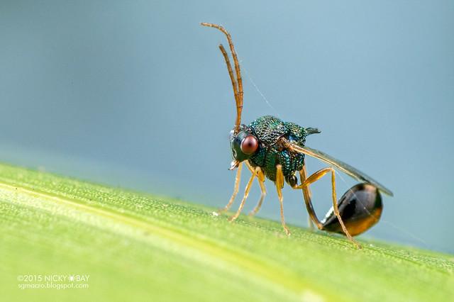 Eucharitid wasp (Eucharitidae) - DSC_1414