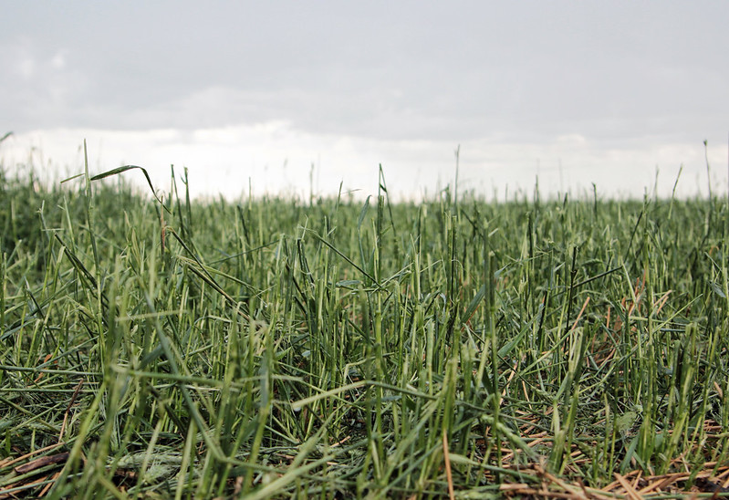 Wheat Hail Damage July 22, 2015