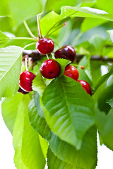 Ripened cherries