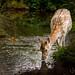 Fallow Deer by nusen