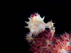 Candy crab (Hoplophrys oatesi)