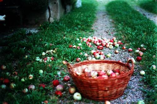 apple_harvest