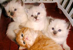 domestic long-haired cat, animal, kitten, napoleon cat, british semi-longhair, small to medium-sized cats, pet, ragdoll, cat, carnivoran, whiskers, himalayan,