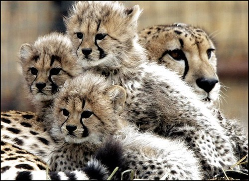 Cheetah Cubs @ the Zoo