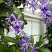 "Petrea volubilis ""Queen's Wreath"""