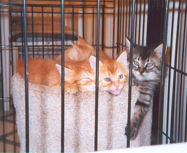 kittenscage