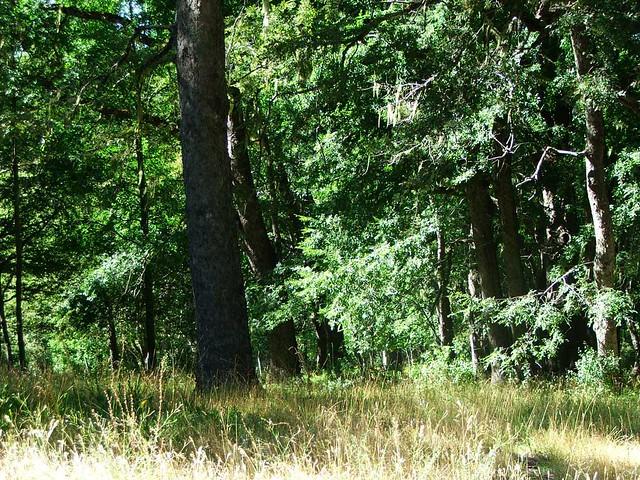 Resultado de imagen para Bosque de Roble Pellin