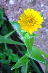 little, yellow flower