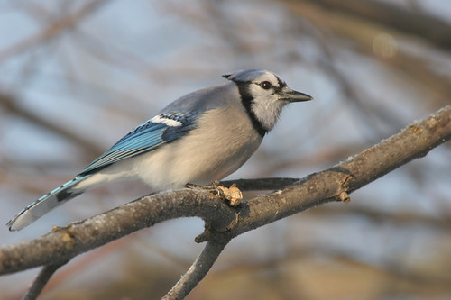 Blue Jay (Cyanocitta cristata) with Breakfast