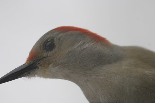 Female Red-Bellied Woodpecker (Melanerpes carolinus)