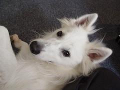 dog breed, animal, dog, pet, mammal, berger blanc suisse, american eskimo dog,