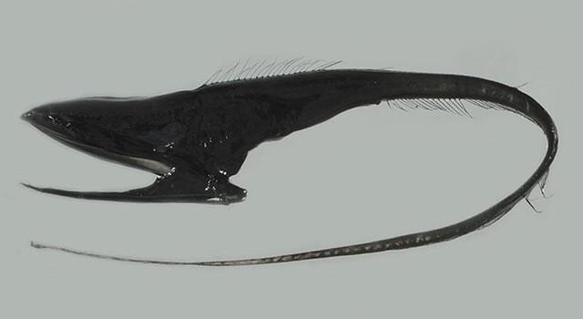 Umbrella mouth gulper eel