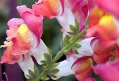blossom(0.0), shrub(0.0), peruvian lily(0.0), flower(1.0), plant(1.0), macro photography(1.0), flora(1.0), floristry(1.0), snapdragon(1.0), pink(1.0), petal(1.0),