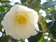 blossom, camellia sasanqua, flower, yellow, plant, flora, camellia japonica, theaceae,