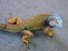 agama, animal, iguania, reptile, lizard, fauna, iguana, scaled reptile,