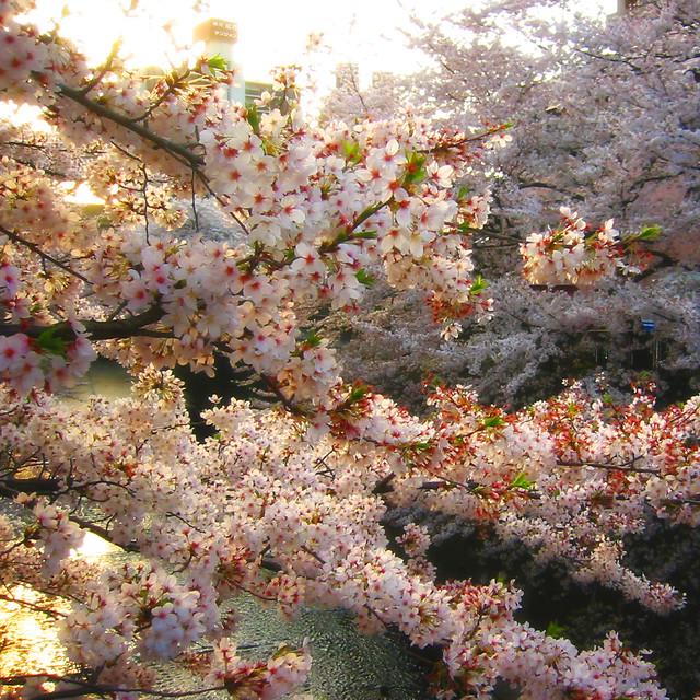 Cherry blossom, Canon IXY DIGITAL 200A