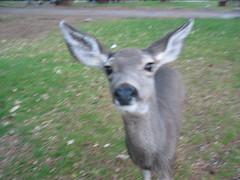Friendly deer