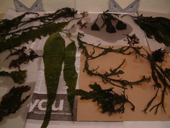 drying seaweed in the kitchen