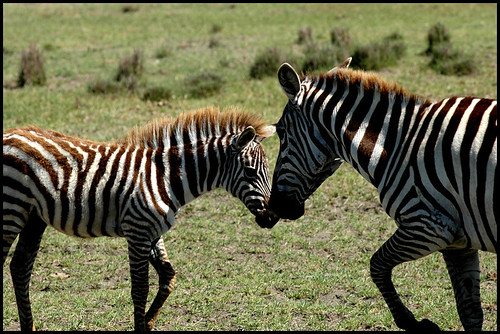 Zebras in National Park at Lake Nakuru in Kenya