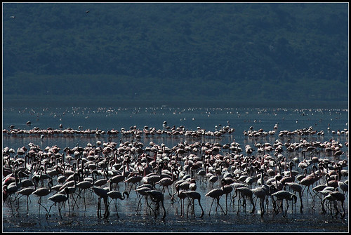 Flamingos at Lake Nakuru