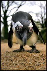 Jackass Penguin - 6506