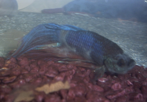 Fish death cotton fungus flickr photo sharing for Betta fish fungal infection