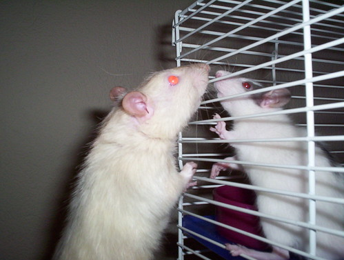 Julius Rattus and Augustus