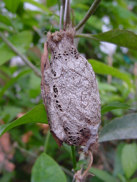 1 Point Safety >> Butterfly Cocoon   Flickr - Photo Sharing!