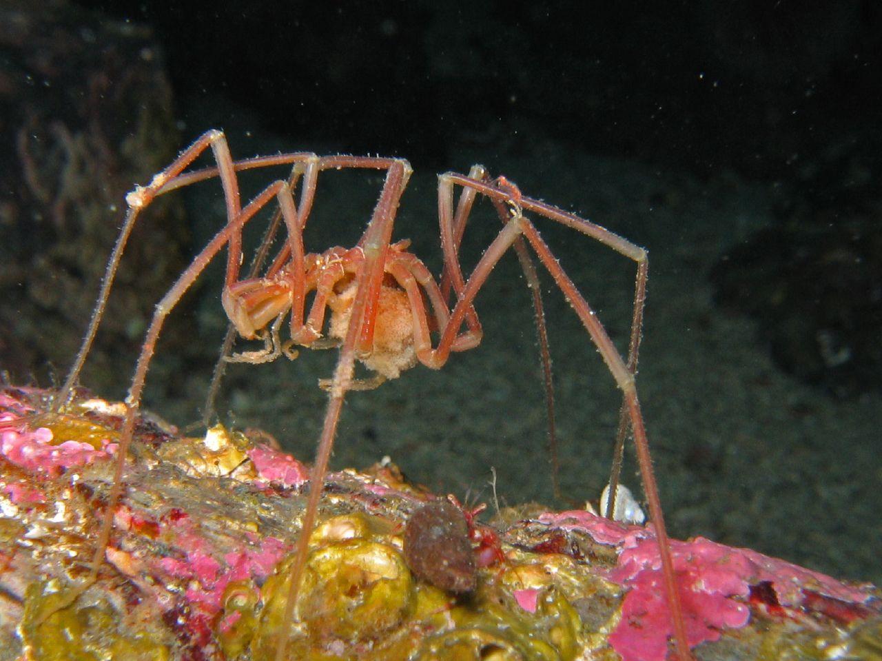 Sea spider - photo#6