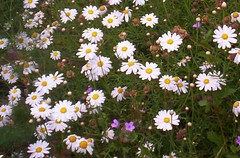 garden cosmos(0.0), asterales(1.0), annual plant(1.0), flower(1.0), plant(1.0), marguerite daisy(1.0), chamaemelum nobile(1.0), tanacetum parthenium(1.0), daisy(1.0), wildflower(1.0), oxeye daisy(1.0), meadow(1.0), daisy(1.0),