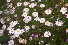 asterales, annual plant, flower, plant, marguerite daisy, chamaemelum nobile, tanacetum parthenium, daisy, wildflower, oxeye daisy, meadow, daisy,