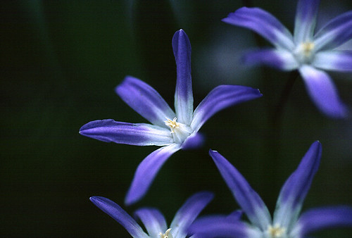 Blue star's flower 02