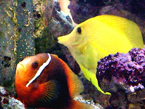 Yellow Tang & Tomato Clown Fish at Doctor's Office