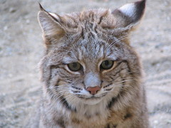 animal, small to medium-sized cats, pet, lynx, pixie-bob, fauna, close-up, cat, wild cat, carnivoran, whiskers, bobcat, domestic short-haired cat, wildlife,