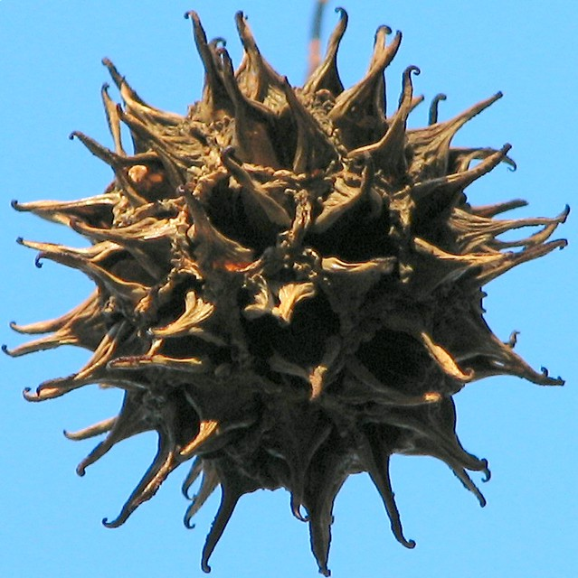 sweetgum fruit squircle