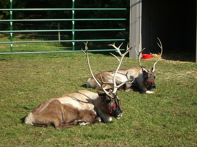 Reindeer Pulling Sleigh Coloring Page