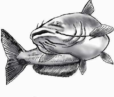 Catfish drawing | Flickr - Photo Sharing!