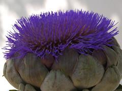 asterales(0.0), vegetable(0.0), thistle(0.0), plant(0.0), produce(0.0), food(0.0), floristry(0.0), petal(0.0), flower(1.0), purple(1.0), artichoke(1.0), artichoke thistle(1.0),