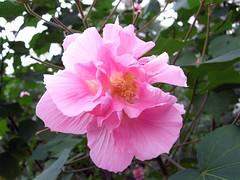 blossom(0.0), shrub(0.0), rosa 㗠centifolia(0.0), rosa gallica(0.0), rosa rubiginosa(0.0), chinese hibiscus(0.0), rosa chinensis(0.0), camellia sasanqua(1.0), flower(1.0), plant(1.0), flora(1.0), pink(1.0), petal(1.0),